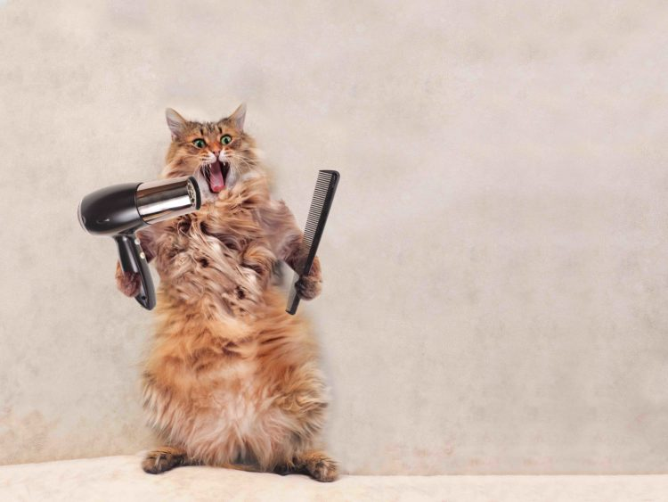 long haired cat with hairdryer