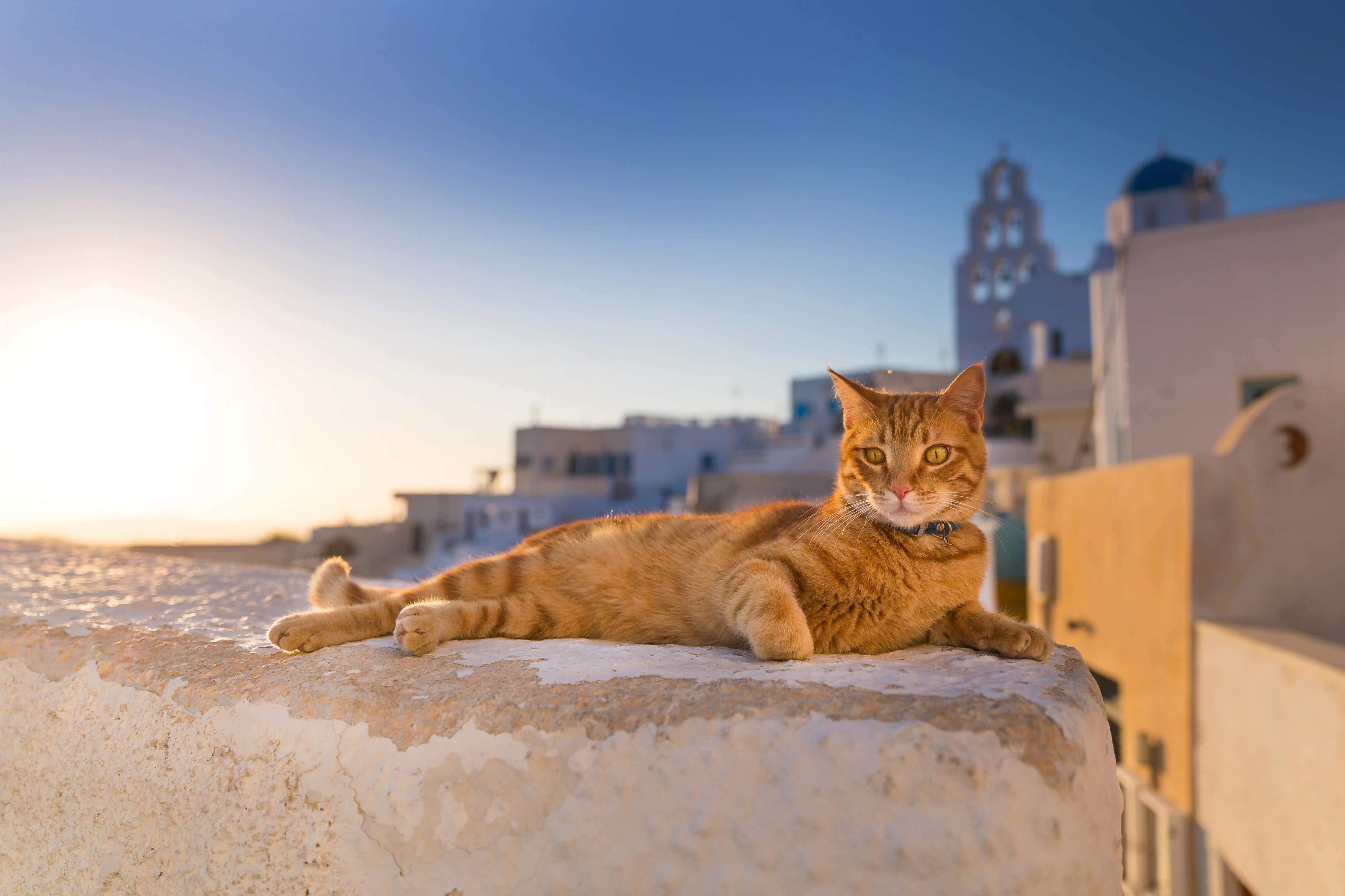 orange cat in santorini