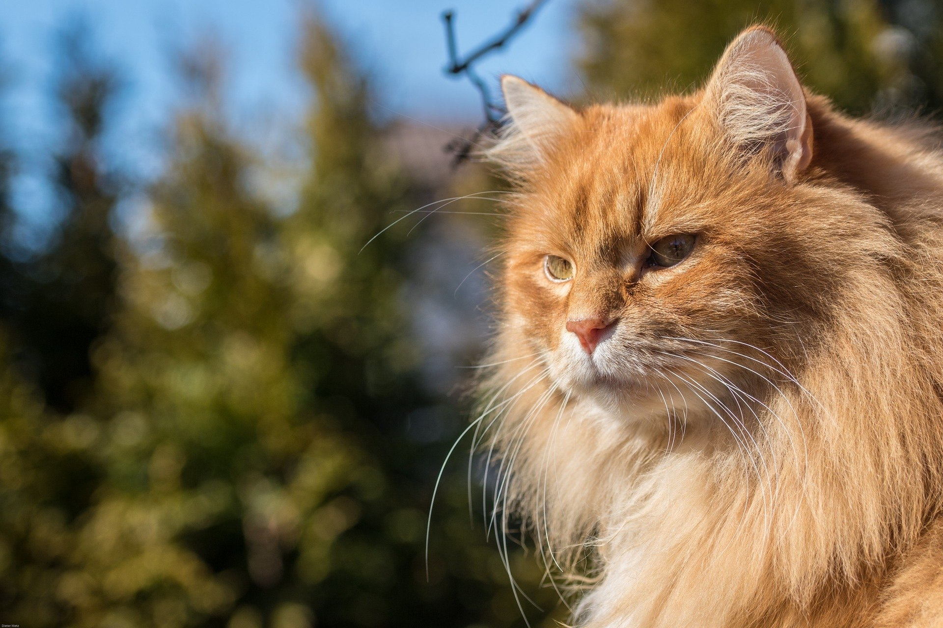 orange long-haired cat mane mini lion
