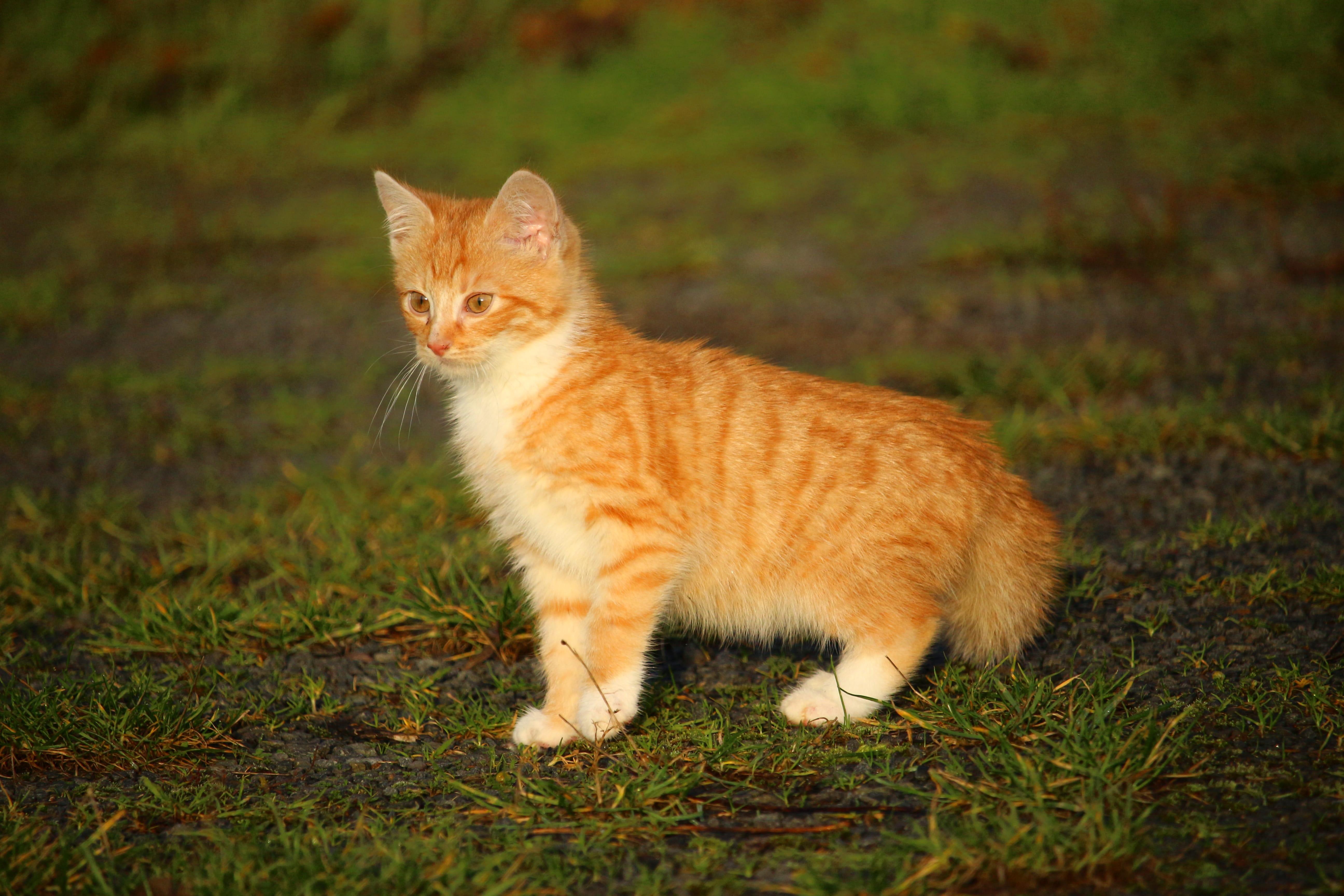 orange tiger striped kitten on grass