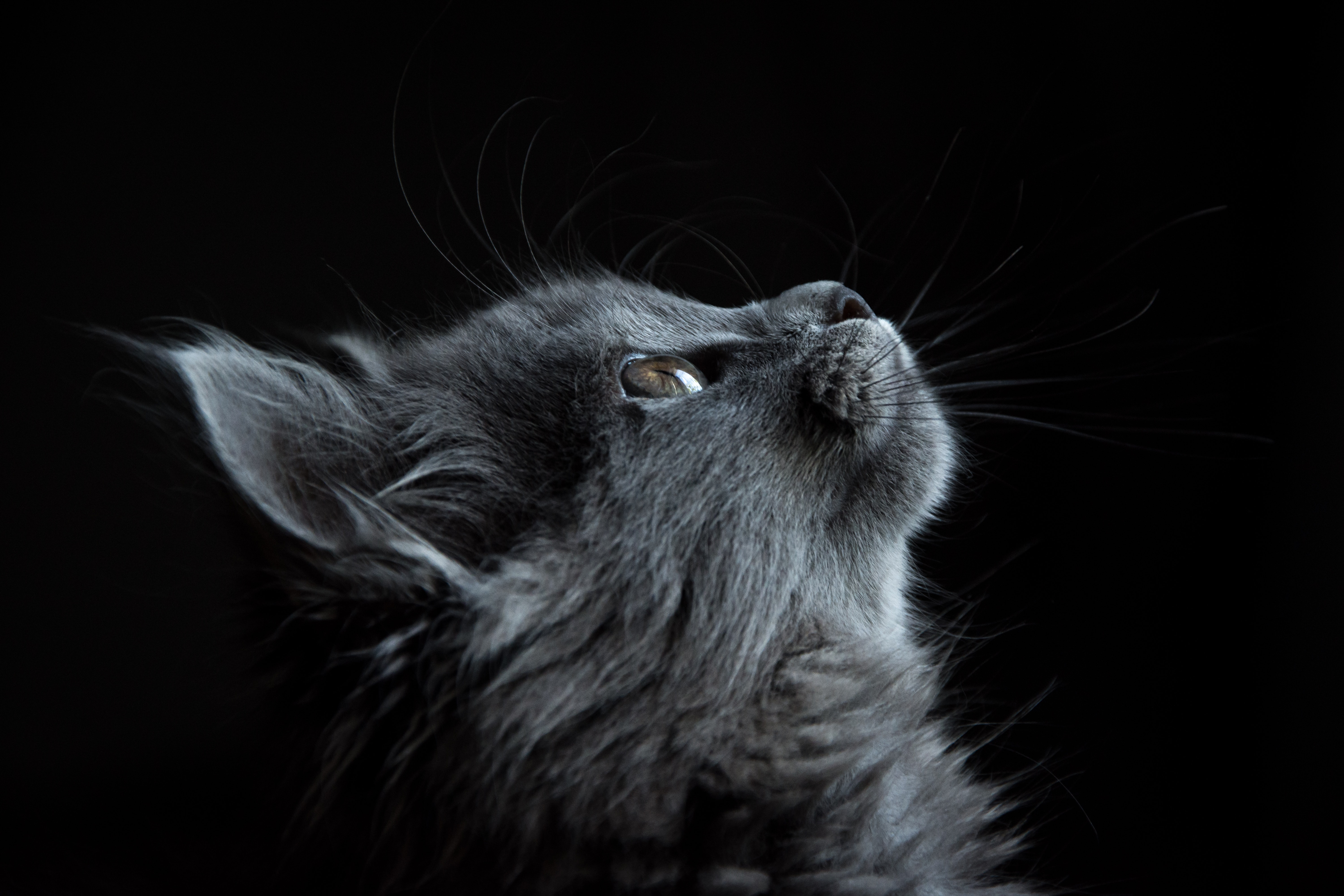 gray cat looking up