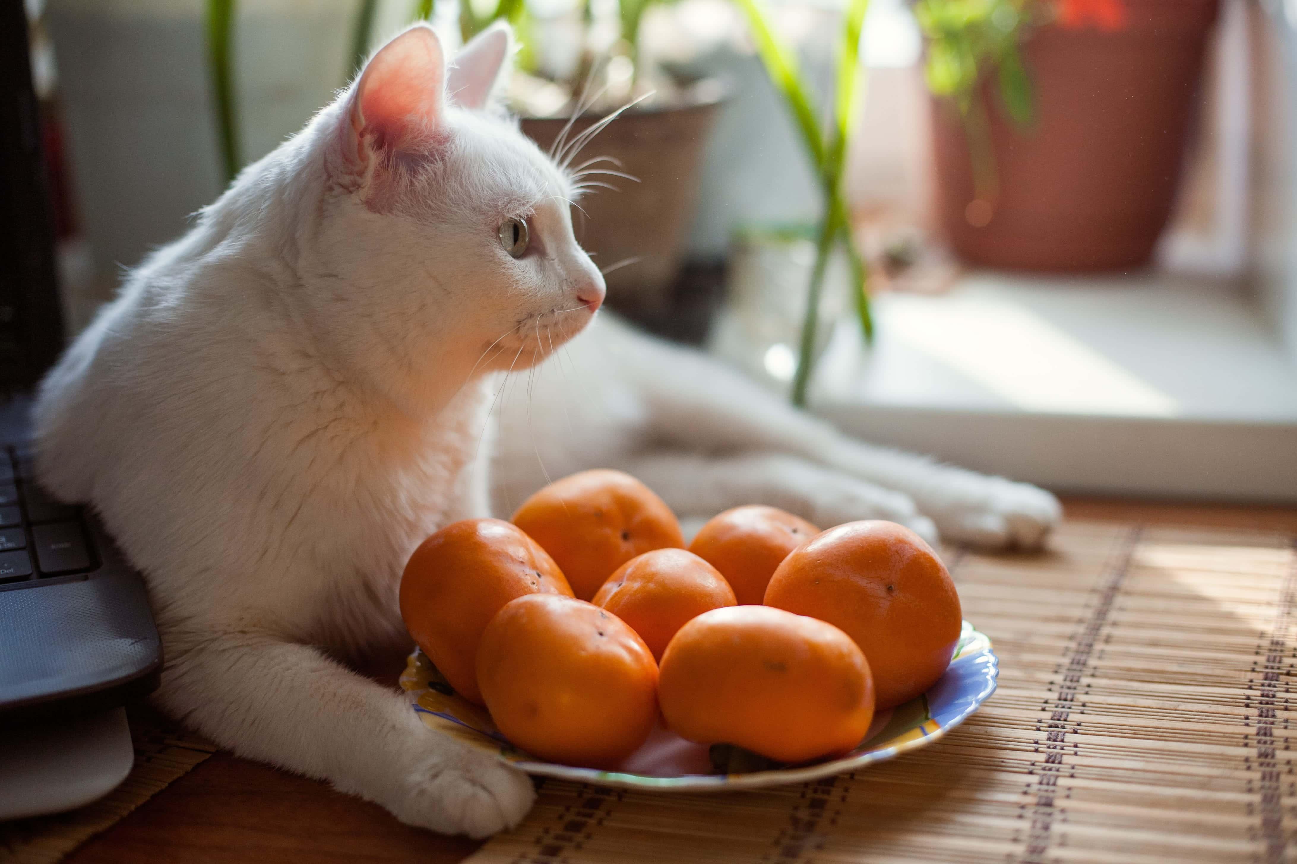 cat mandarin oranges