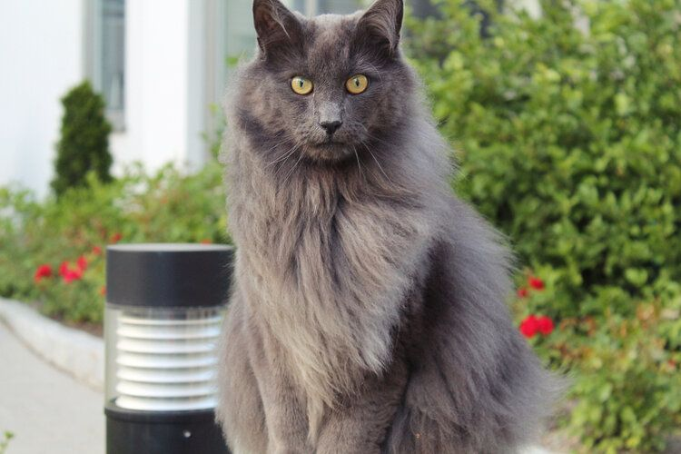 nebelung cat sitting