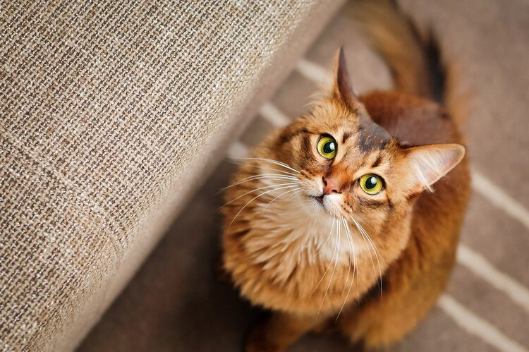 somali cat with green eyes