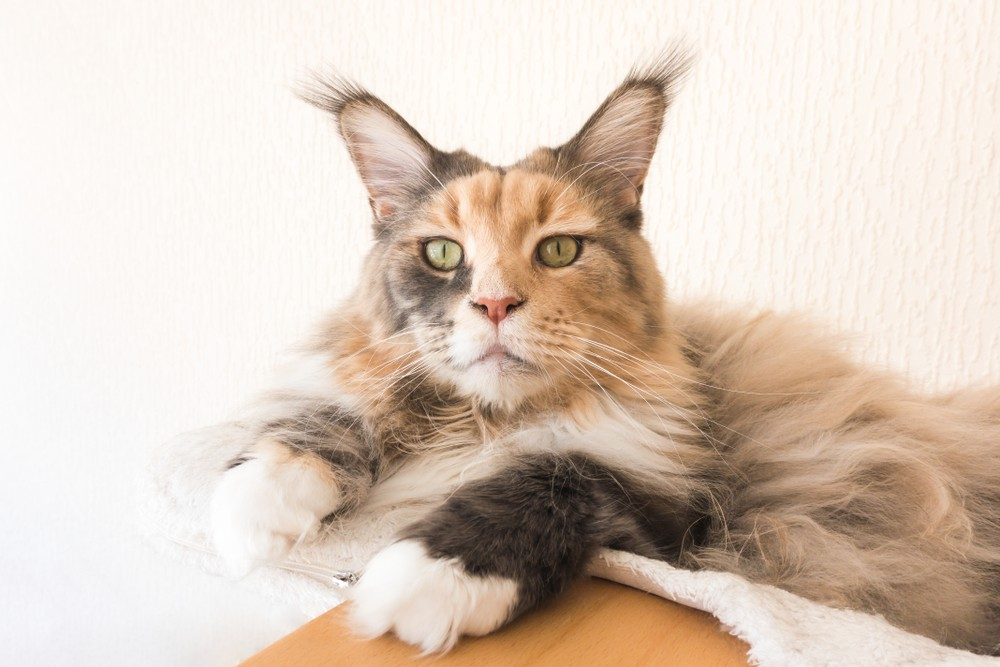 maine coon with ear tuffs