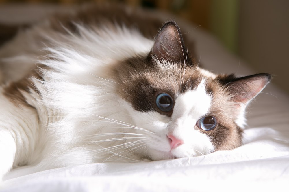 ragdoll cat on bed