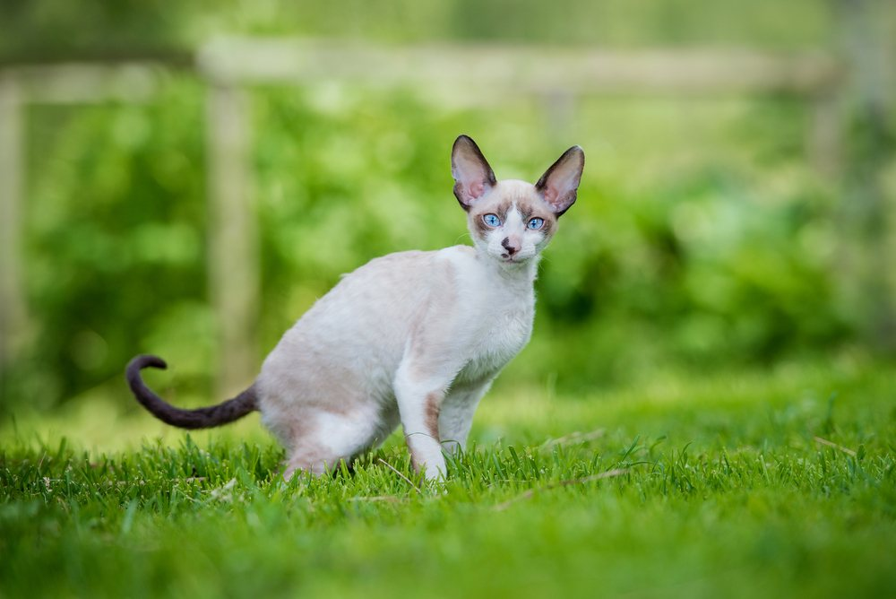 cornish rex in grass