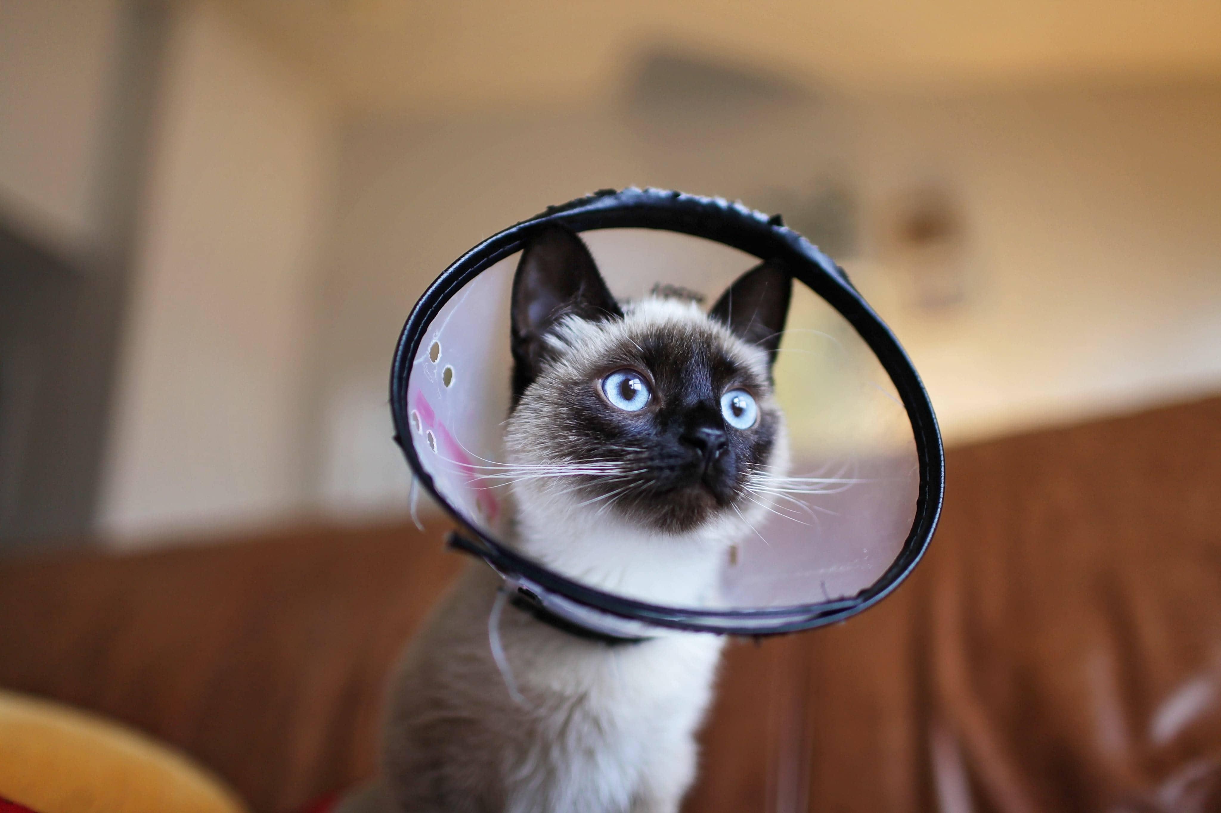 siamese cat wearing collar cone