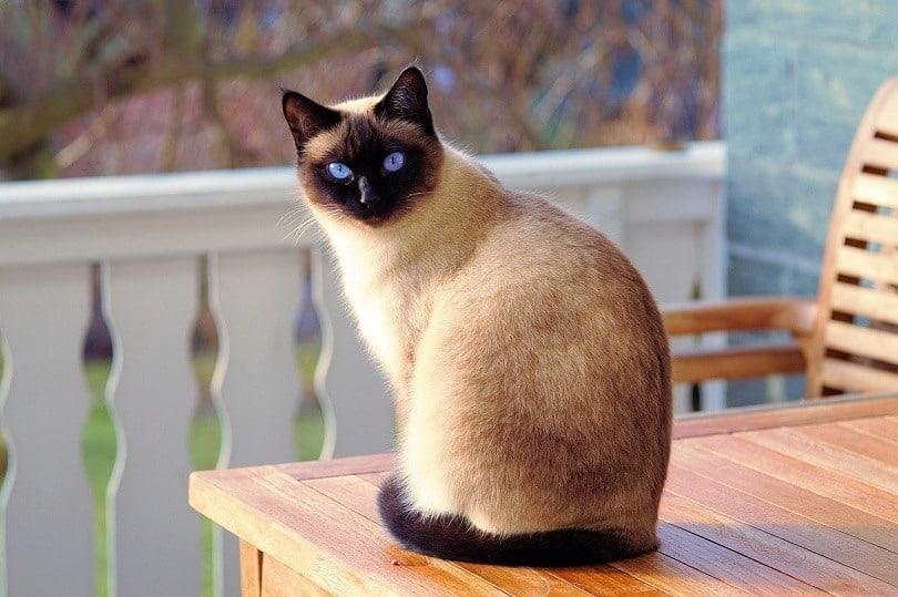 sitting siamese cat