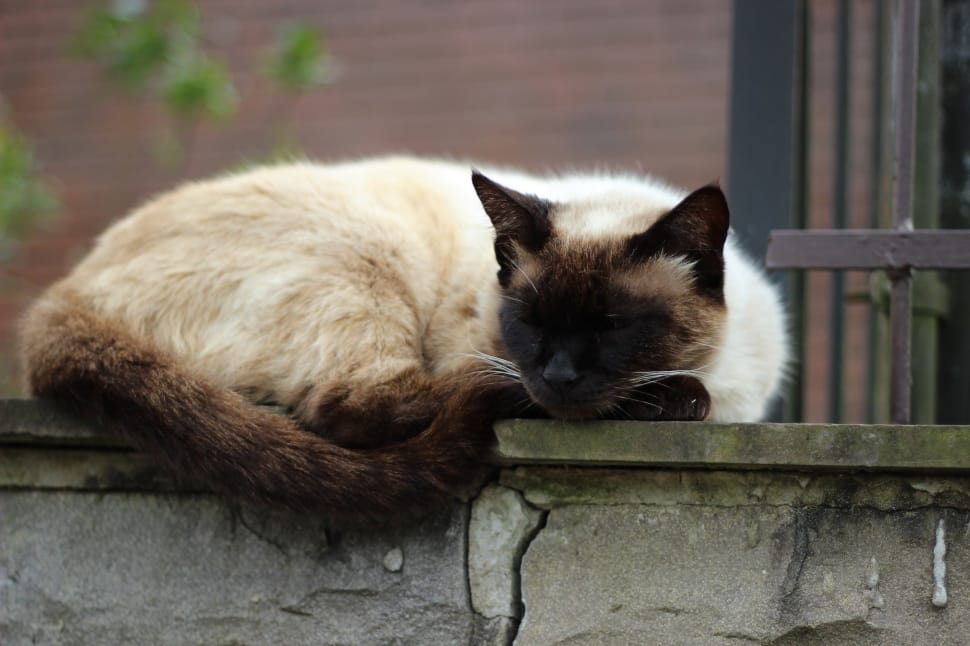 sleeping siamese cat with curly tail