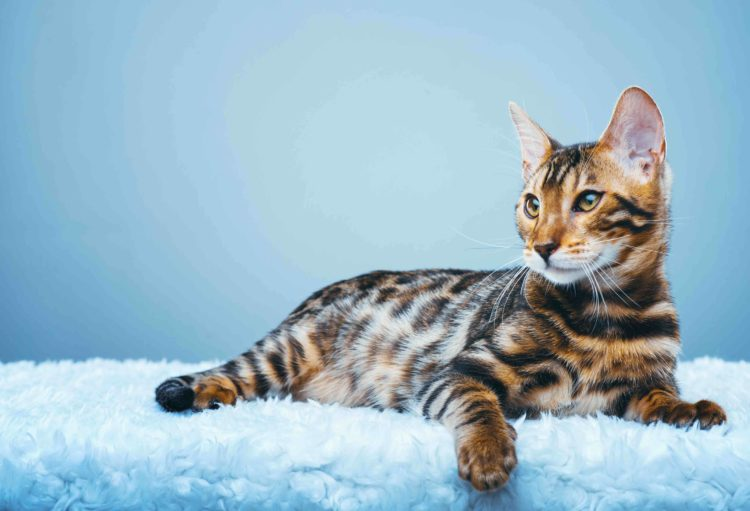 tiger striped bengal cat