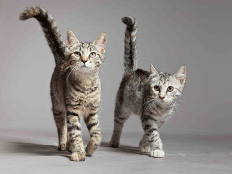 pair of grey tabby kittens