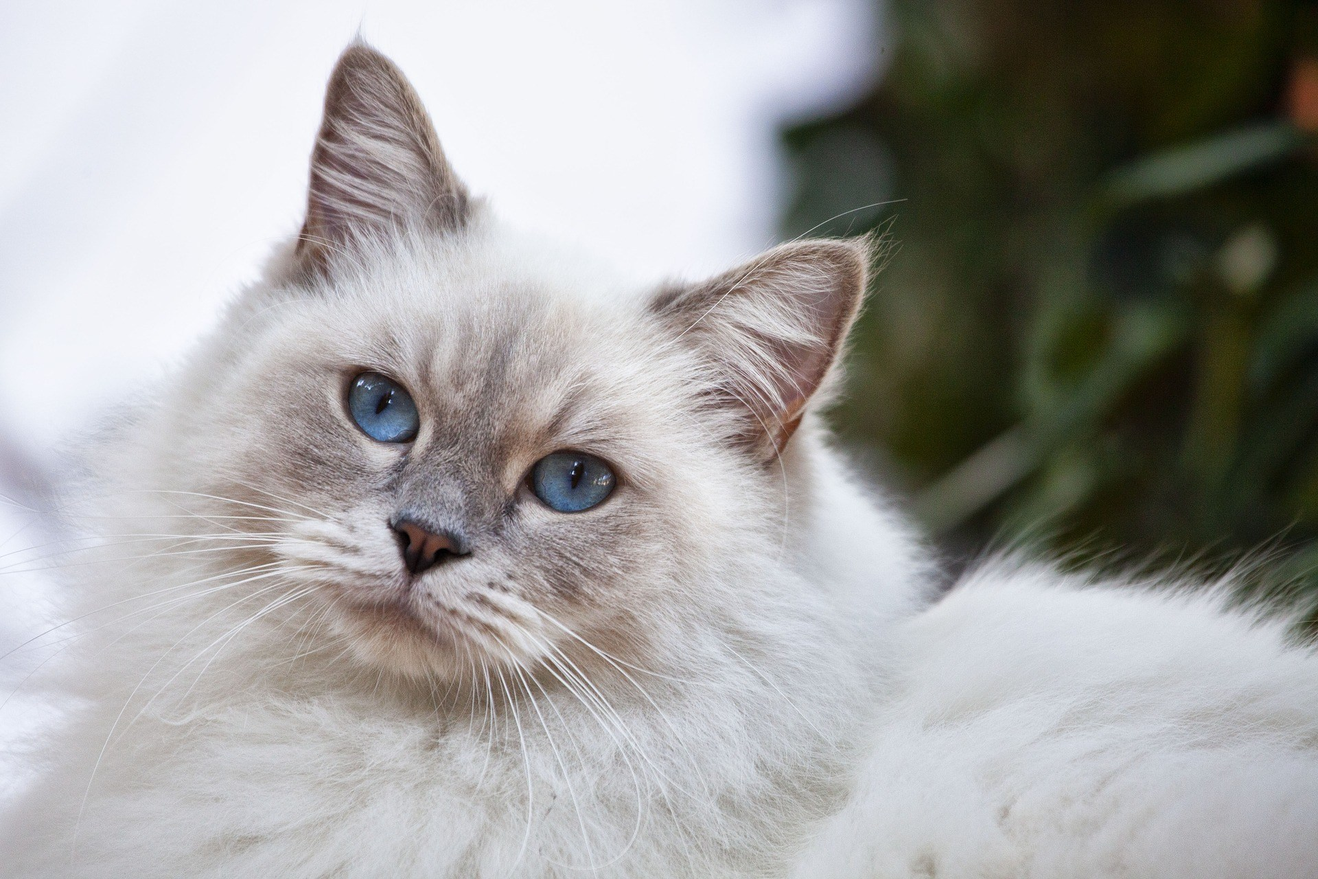 white long-haired fluffy cat