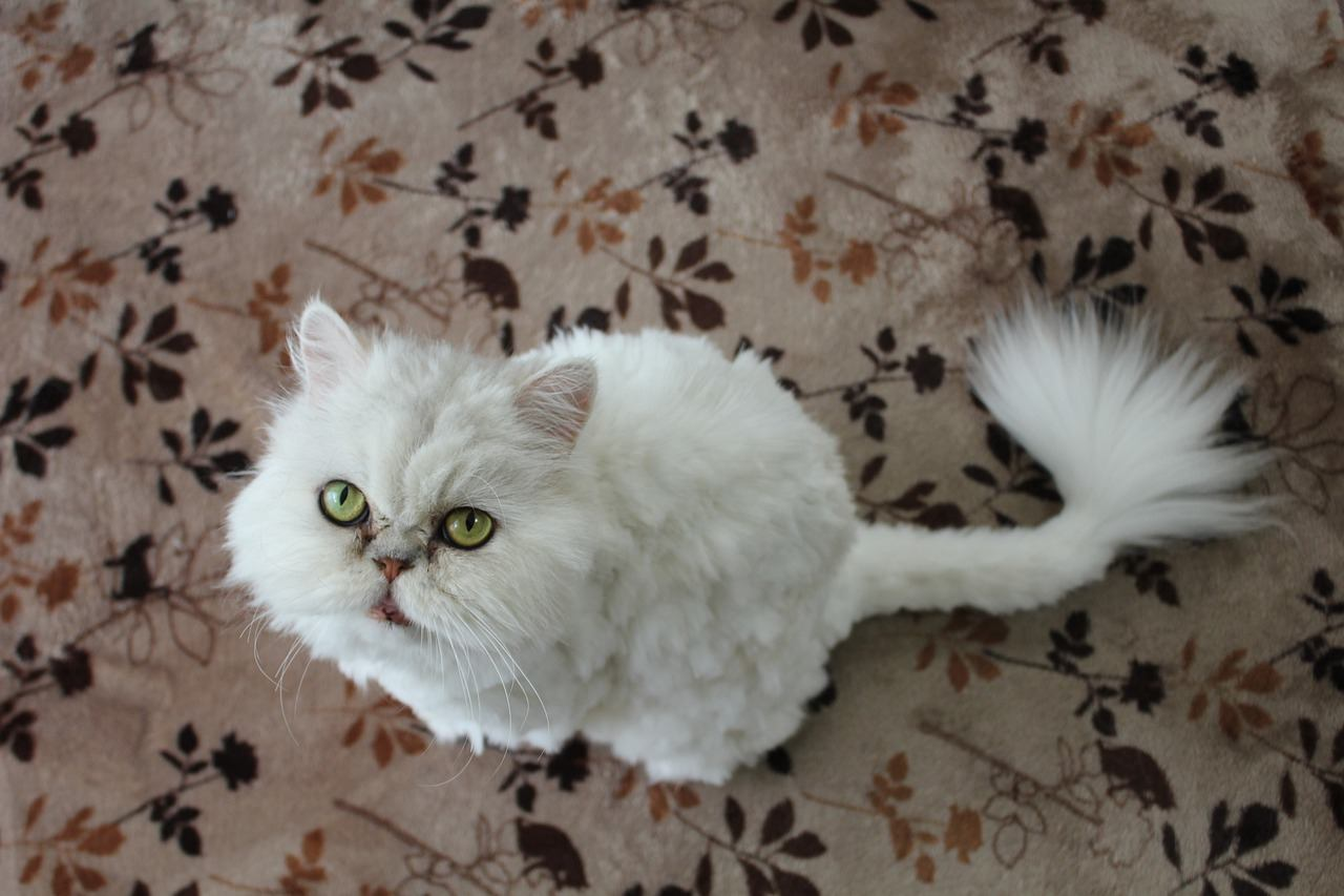 white persian cat with curly tail