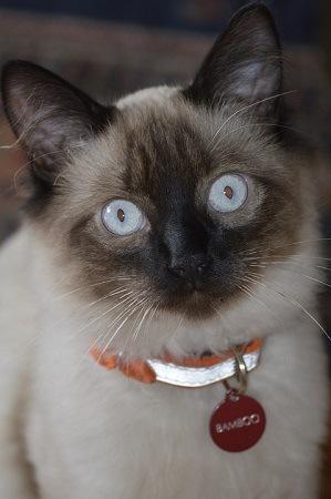Balinese Cat Eyes