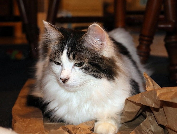 Cat and Crinkled Paper