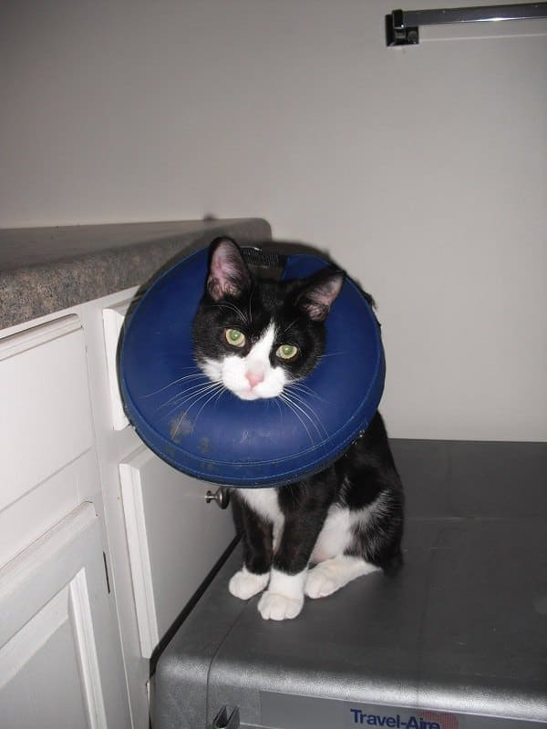 Cat wearing inflatable e-collar
