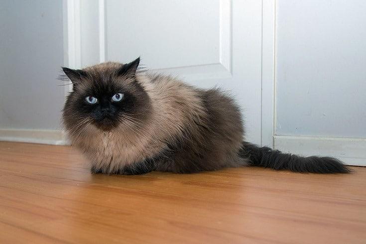 Himalayan Cat on floor
