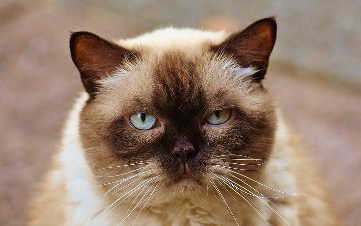 Himalayan Cat's Face