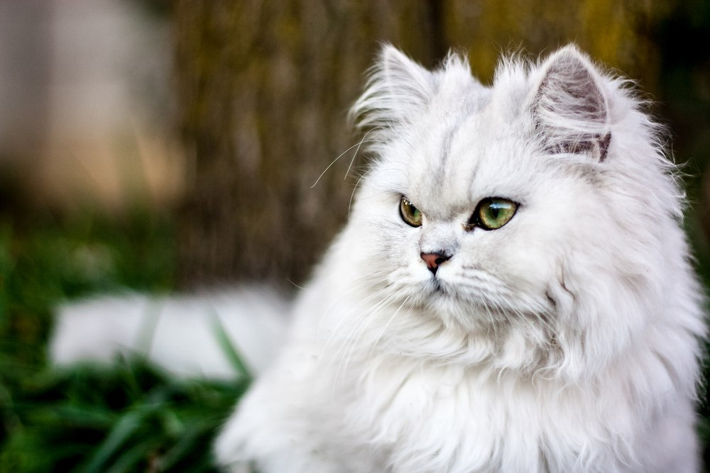 Persian cat looking regal