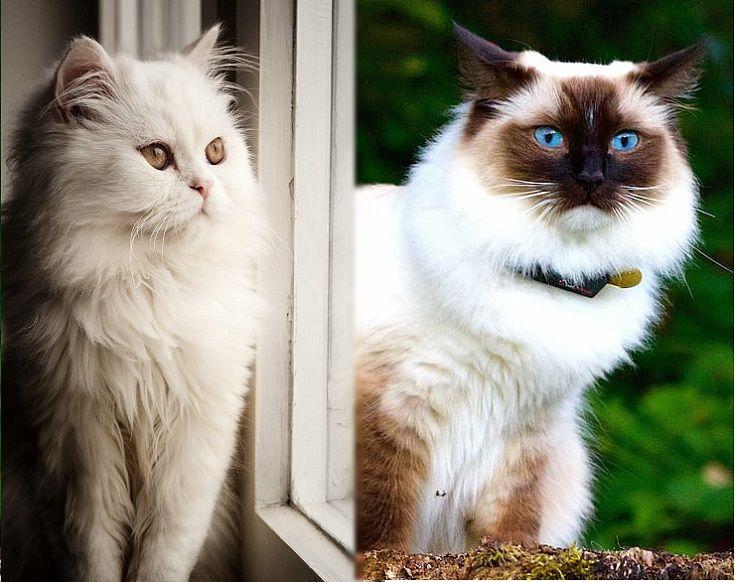Persian vs Himalayan Cat
