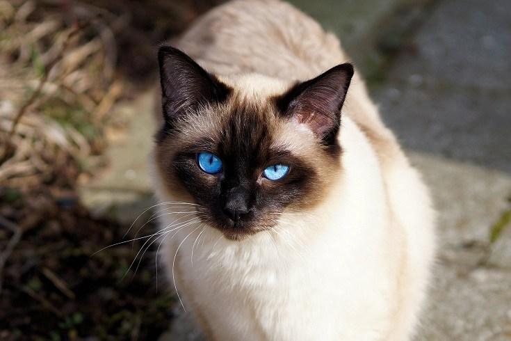 Siamese Cat Stare