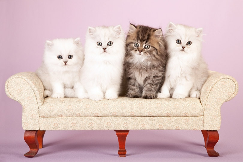 Silver and Golden Chinchilla Persian kittens on cream sofa