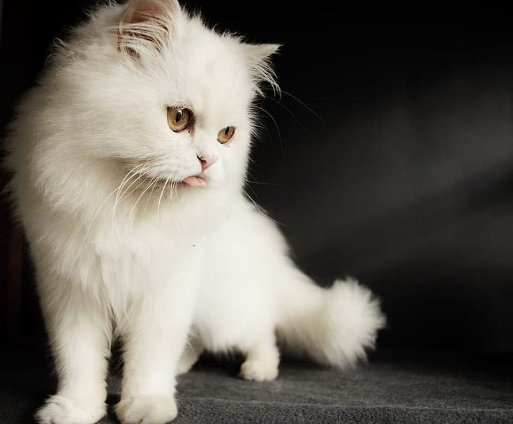 White Persian Cat on Gray Floor