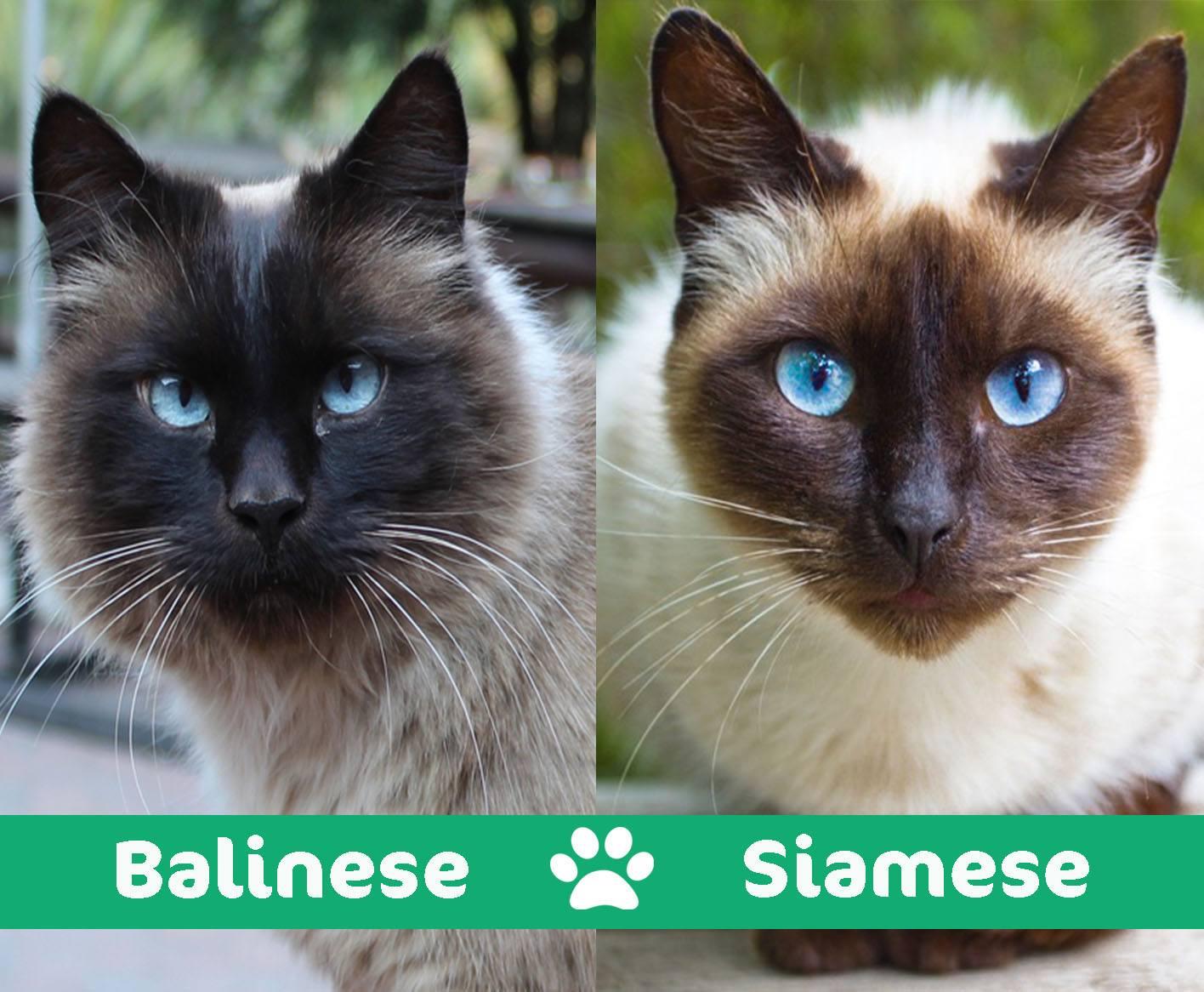 balinese vs. siamese
