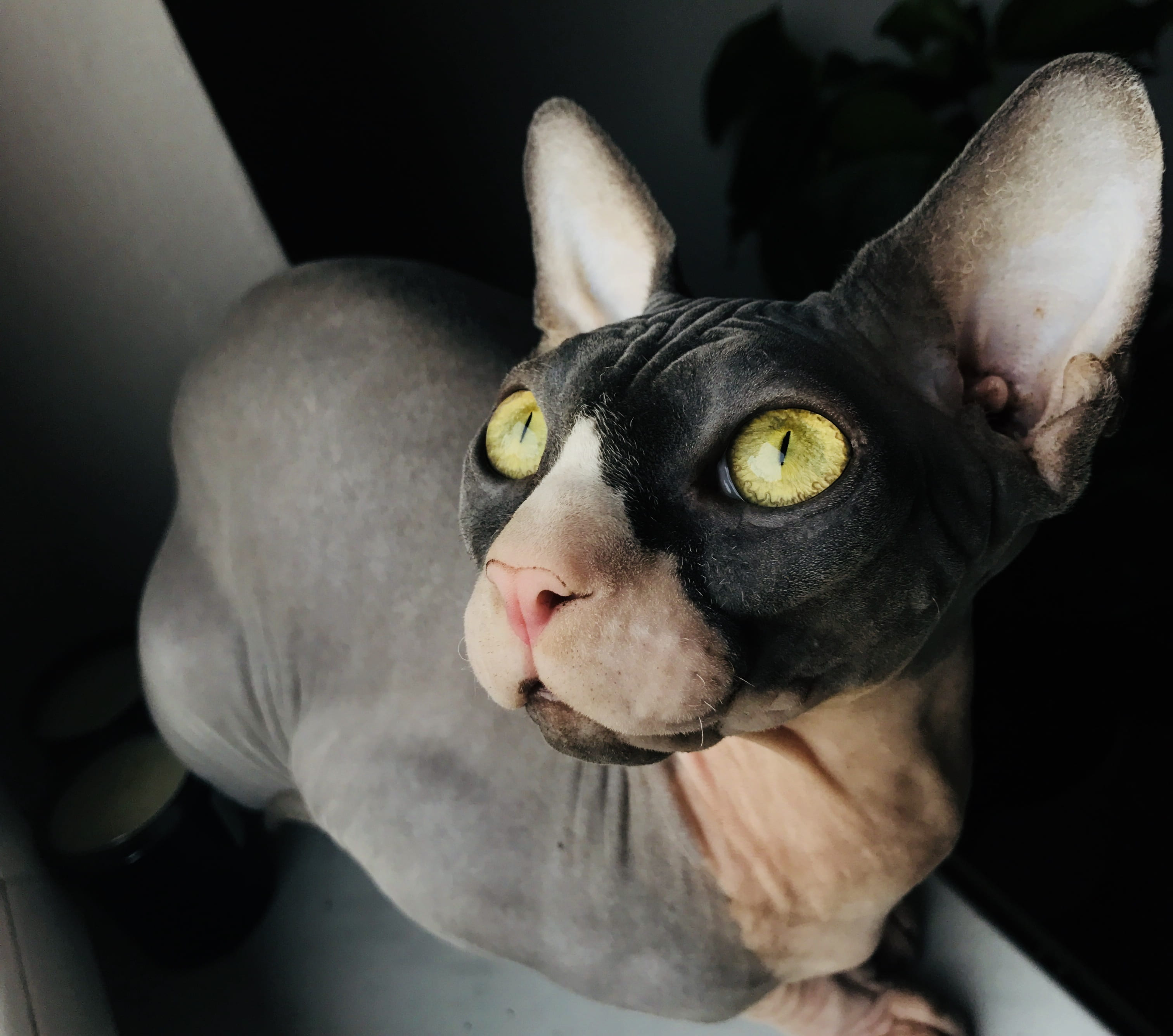 black calico hairless cat