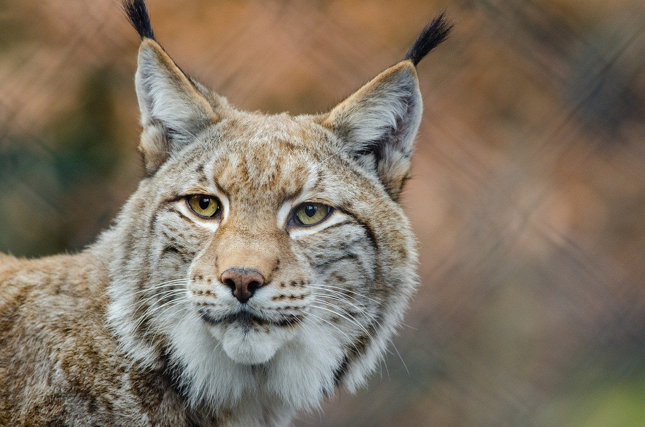 lynx bobcat wildcat