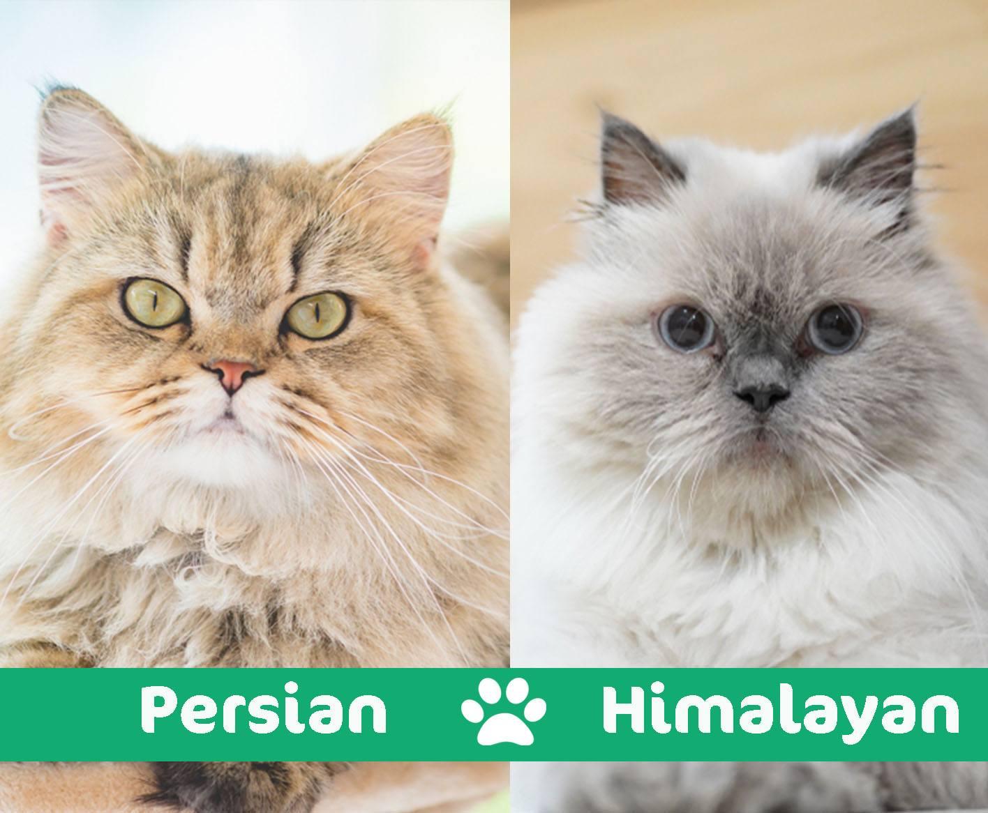 persian vs himalayan