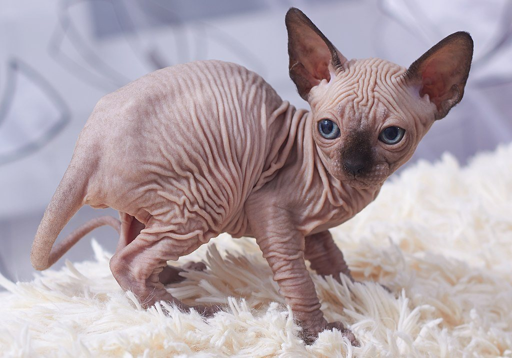 pointed color sphynx