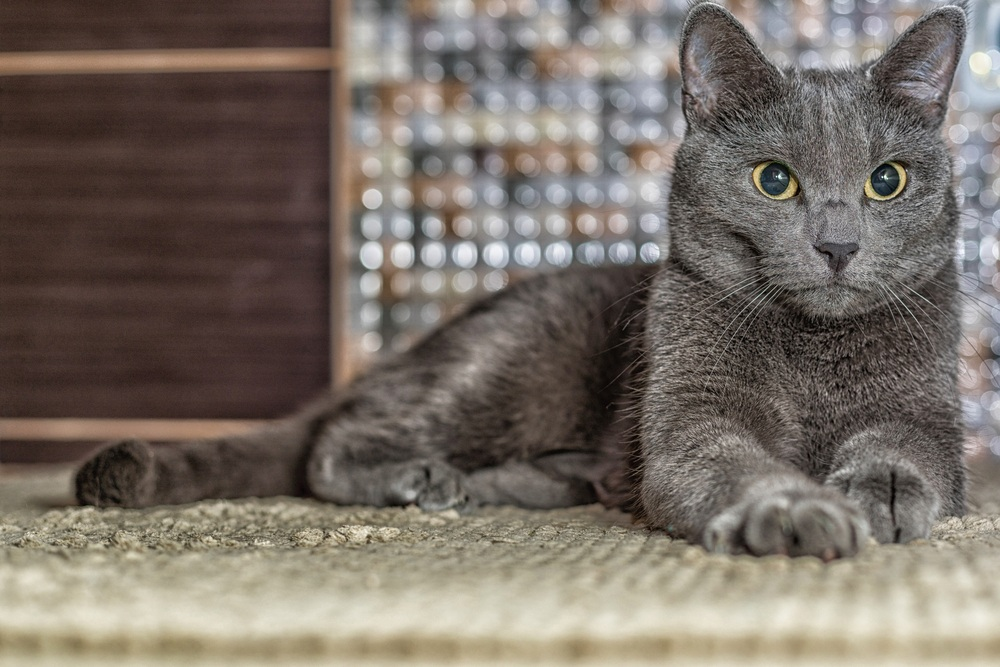 russian blue cat laying down