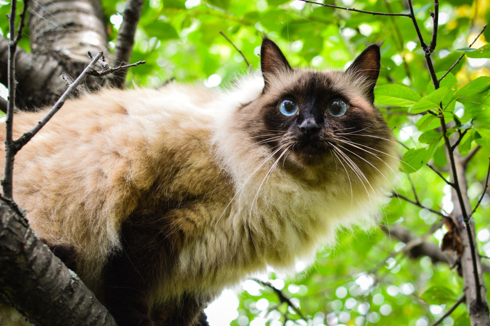 balinese cat in tree