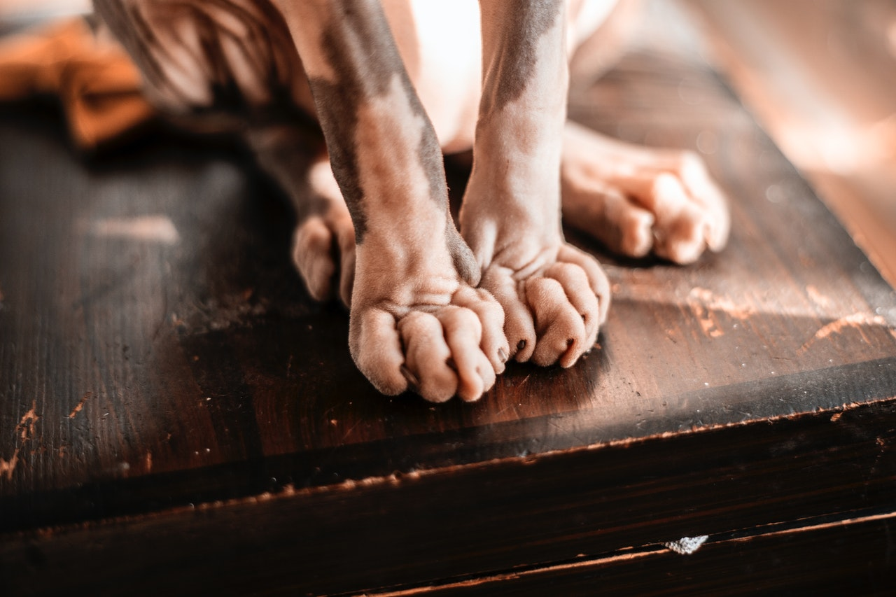 sphynx-cat with white feet