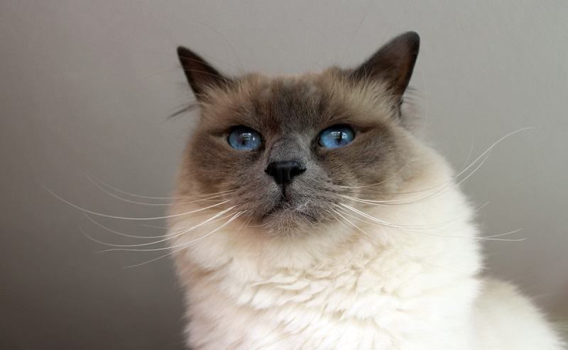 tonkinese tonkinese blue eyesblue eyes
