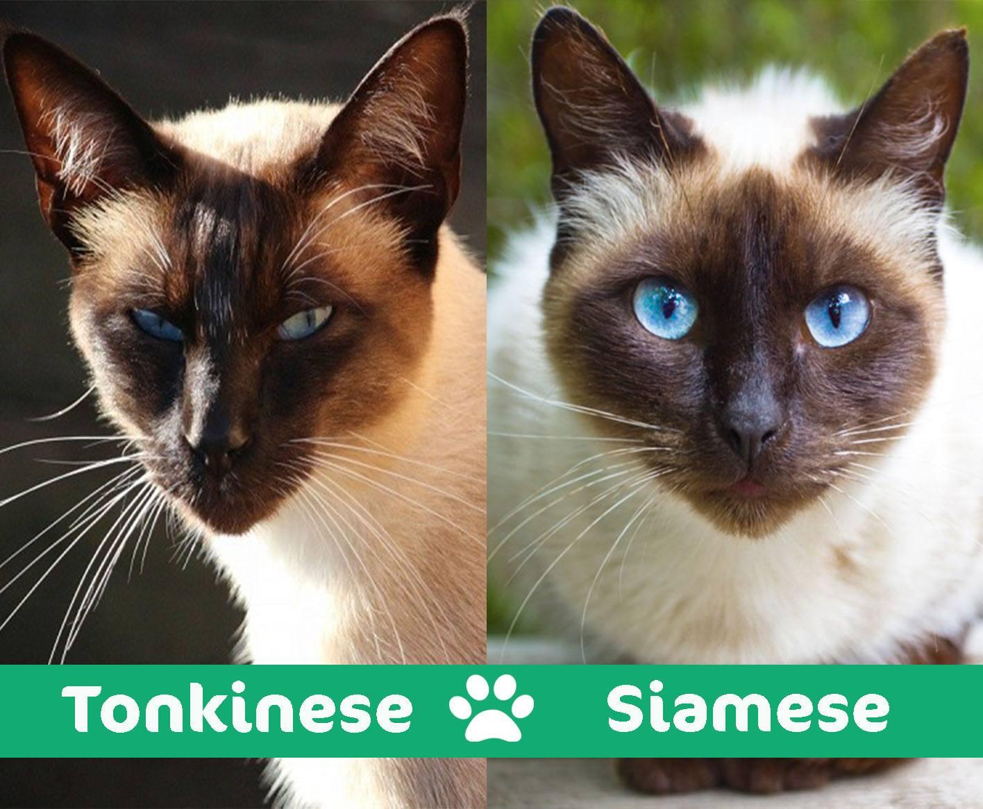 tonkinese vs siamese