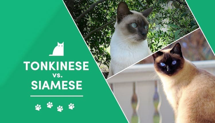 tonkinese_vs_siamese