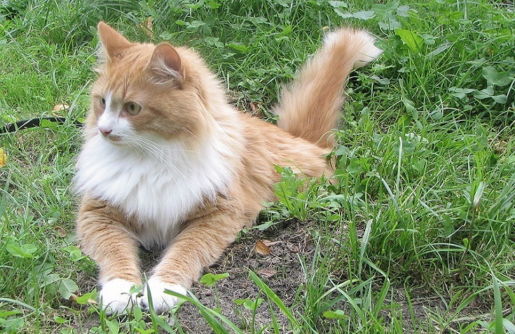 Bi-Color Siberian Cat