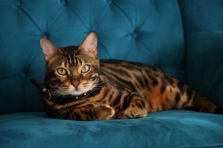 Brown Bengal Cat