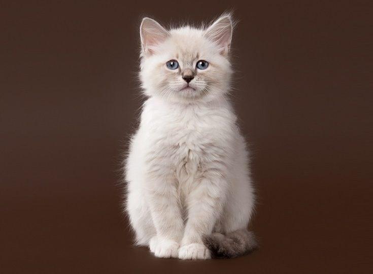 Chinchilla siberian cat