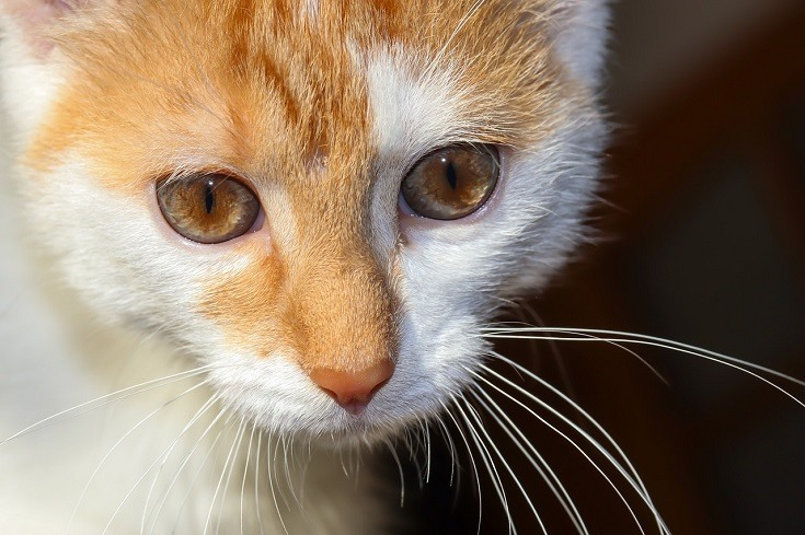 8 Types Of Cat Eye Colors And Their Rarity With Pictures Excitedcats