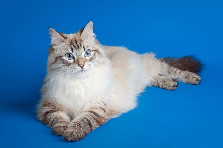 Lynx Point siberian cat_Shutterstock_dien