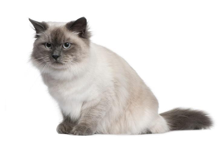 Point siberian cat