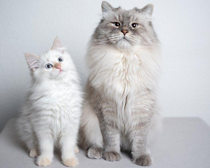 Shaded siberian cat