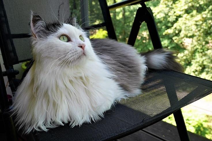 Siberian Cat on a chair