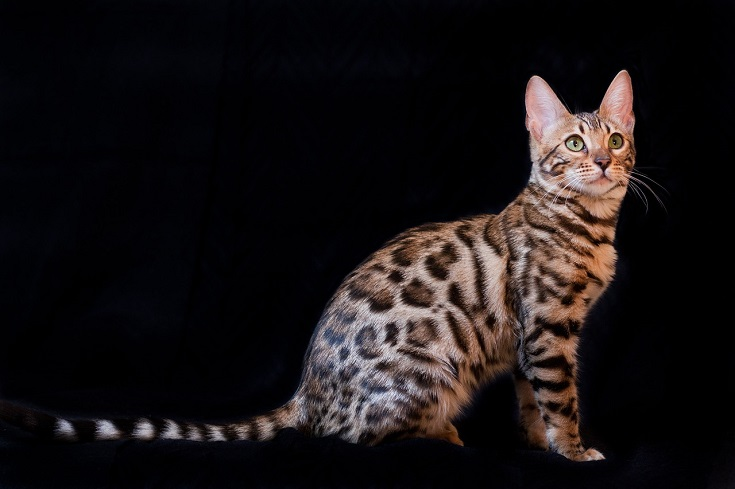 The spotted bengal cat