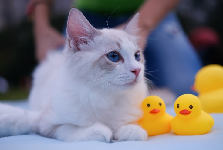 White cat with rubber ducks