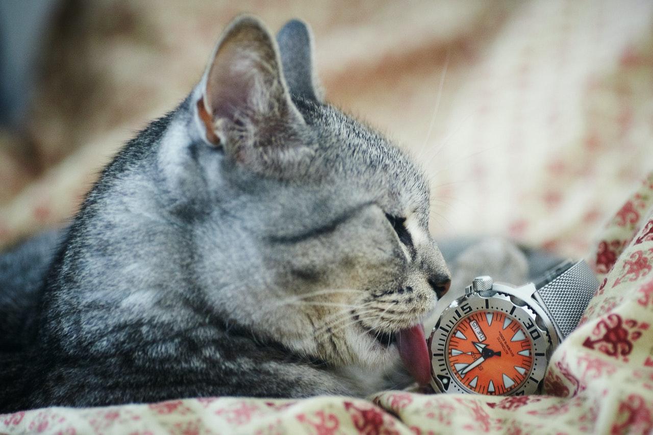cat licking a watch